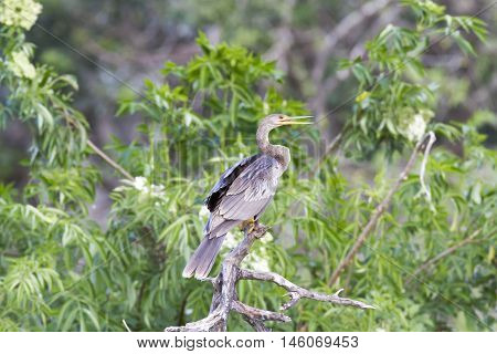 Anhinga perched on branch at rookery in Brandon Florida
