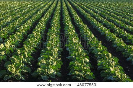 Long rows of bright green, young cabbage plants