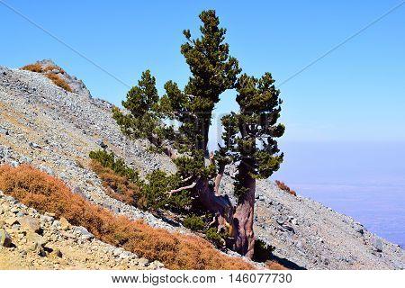Lone Pine Tree on a mountain ridge taken in Mt Baldy, CA