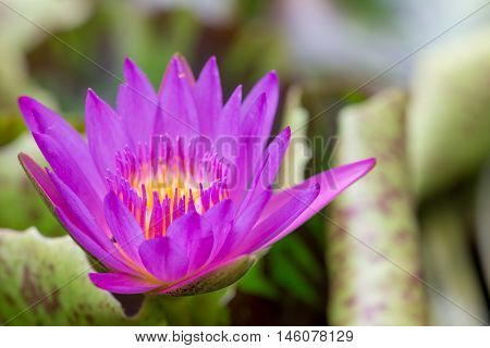 Close-up detail of a blooming star lotus in a pond of lilypads. Travel and nature concept.
