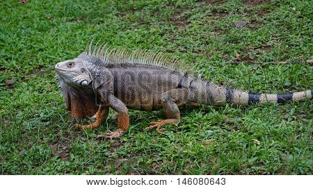 Iguana (Iguana iguana) on green grass in the botanical garden of Medellin - Antioquia - Colombia