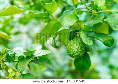 it is bergamot tree in the garden