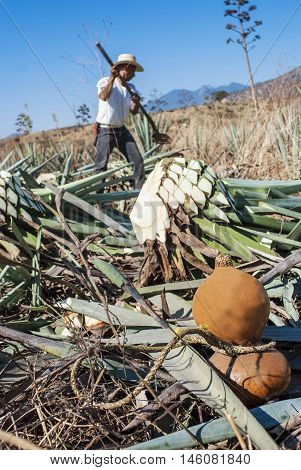 A man works in the tequila industry in the field