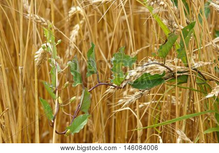 Field bindweed (Convolvulus arvensis) in wheat field