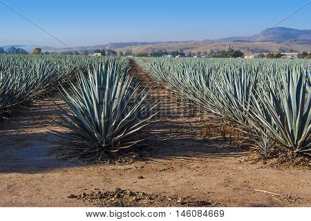 Tequila landscape agave field in Guadalajara Jalisco Mexico.