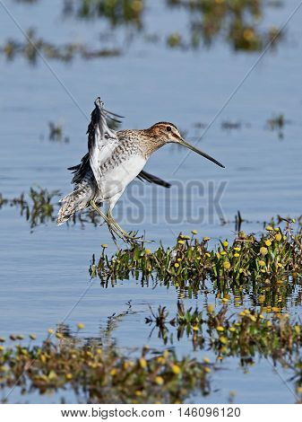 Common snipe (Gallinago gallinago) in flight with vegetation and water in the background
