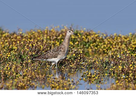 Ruff (Philomachus pugnax) standing in vegetation and water in its habitat