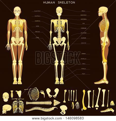 Human anatomy on dark background. Realistic detailed skeleton of a full-length, front and profile view.