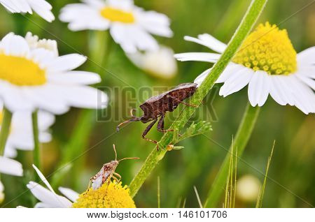 Bidentate Stink Bug Crawling On A Stem Of Chamomile. Insects And Flowers In The Wild Nature.