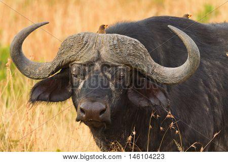 Male buffalo with ox-peckers walking in grass in Masai Mara Kenya
