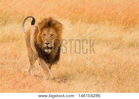 Male lion walking in grass in Masai Mara Kenya. Horizontal portrait