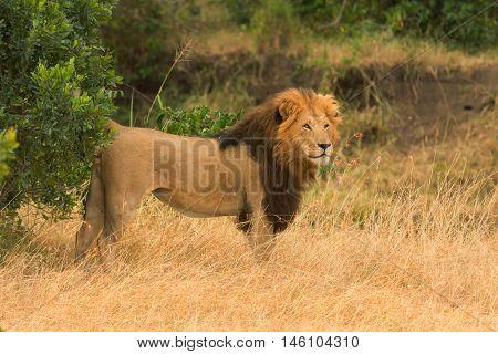 Male lion walking in grass in Masai Mara Kenya. Side view
