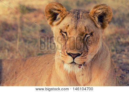 Portait of old lioness lying in grass in Masai Mara Kenya