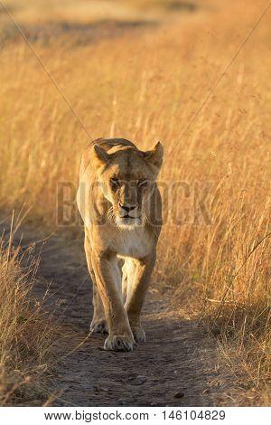 Female lion walking around in the grass in Masai Mara Kenya. Shot at sunset vertical shot