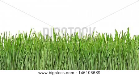 Young Wheat Like Grass Isolated on White Background