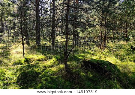 Northern Forest with Mossy Ground and Pine Trees on a Summer Sunny Day Lit by Sun Rays