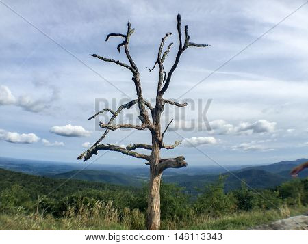 Dead Tree In Shenandoa National Forest