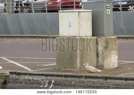Glaucous Gull (Larus hyperboreus) juvenile standing on the quayside in a Harbour