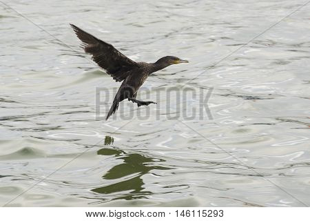 Great Cormorant (Phalacrocorax carbo) just before landing in water in a Harbour