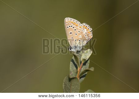 Common Blue (Polyommatus icarus) butterfly male resting on top of a Shrub