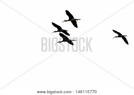 Four Silhouetted White-faced Ibis Flying on a White Background