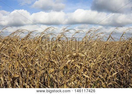 Dead corn stalks after harvest baking in the summer heat.