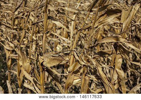 Dying corn stalks after harvest and heat exposure with little water.