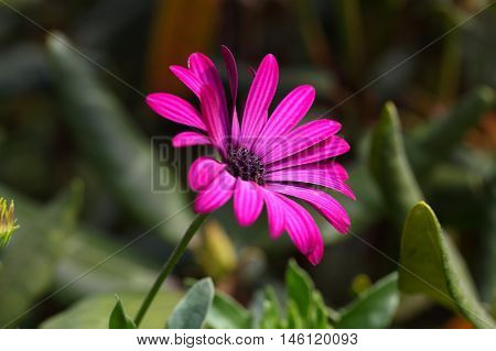 Flowers of a pink Cape marguerite (Dimorphotheca ecklonis)