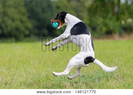 Dog Is Jumping For A Ball
