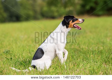 Portrait Of A Parson Russell Terrier