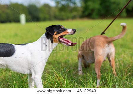 Parson Russell Terrier And Leashed Dog