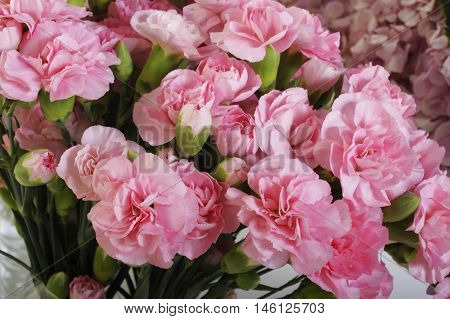 pink carnation beauty flowers at on background