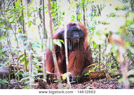 The adult male of the Orangutan. Portrait of the adult male of the orangutan in the wild nature. Island Borneo. Indonesia. poster