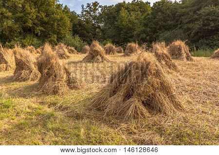 Traditional haystack of buckwheat in the old landscape of Natura docet of Twente Netherlands poster