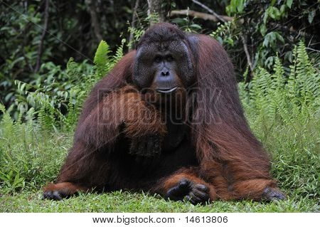 Portrait of the adult male of the orangutan in the wild nature. Island Borneo. Indonesia. poster