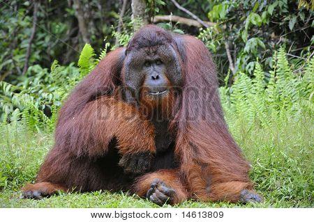 The Adult Male Of The Orangutan.