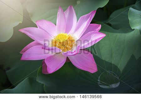 Lotus early sun irradiated flowers bloom more shimmering dew drops below leaf represents vitality and beauty of  idyllic countryside