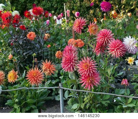 Dahlia garden with different types of colorful dahlias