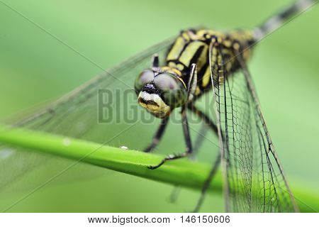 dragonfly who was perched on the stem of grass dragonfly close up showing details of the front and top of the head