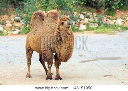 Bactrian camel (Camelus bactrianus),  one of the two species of camels.