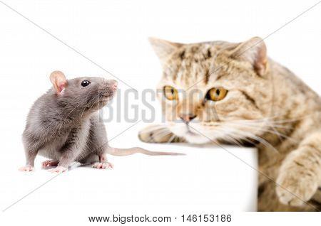 Cat Scottish Straight hunts rat isolated on white background