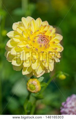 Yellow pompon dahlia in sunshine in garden