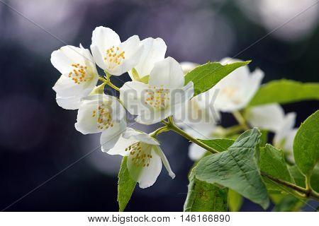 beautiful jasmine flower in the garden ornamental shrubs
