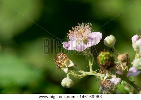 Pink flowers of blackberries on bush in vegetable arden
