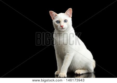 Playful Blue eyed Cat of Breed Mekong Bobtail, Sitting and Curious Looks, Isolated Black Background, Color-point Fur