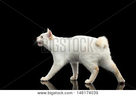 Walking Blue eyed Female Cat of Breed Mekong Bobtail Curious Looking up and asking treats, Isolated Black Background, Color-point Beige Fur, Side view on Tail