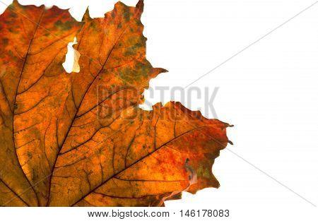 Dry Maple Leaf In Corner