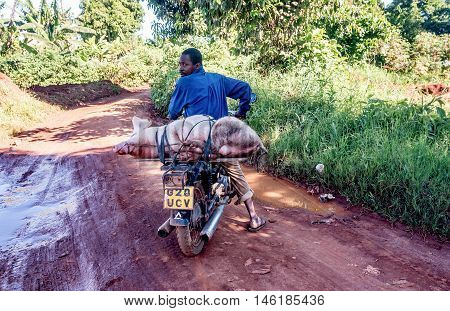 Entebbe, Uganda- April 5, 2016: Unidentified Ugandan man transporting domestic pig on a motorcycle Entebbe,Uganda