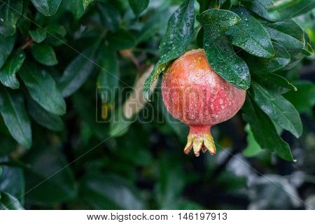 The pomegranate fruit growing on a tree on a background of green tree branches. Growing pomegranate. Horizontal. Daylight. Close up.