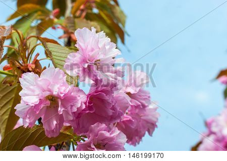 Cherry blossom, sakura blossom against blue sky. Spring sakura flower tree blossom. Spring flower close up. Spring sakura. Spring cherry branch. Spring pink flower. Spring april may background